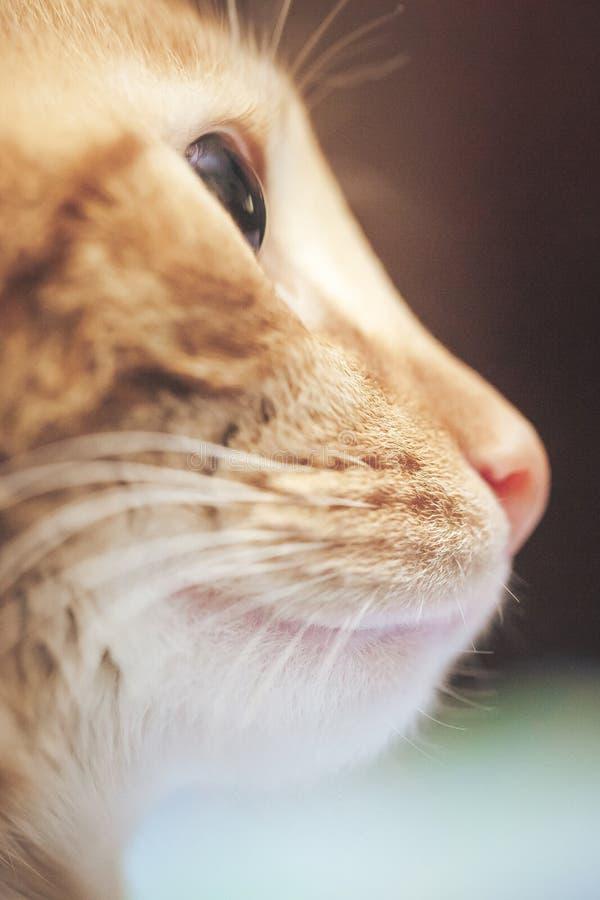 Профиль кота имбиря стоковые изображения
