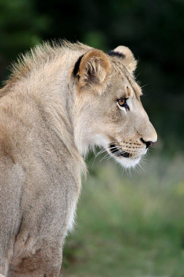 профиль льва стоковое изображение