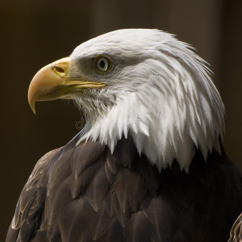 профиль облыселого орла стоковое изображение