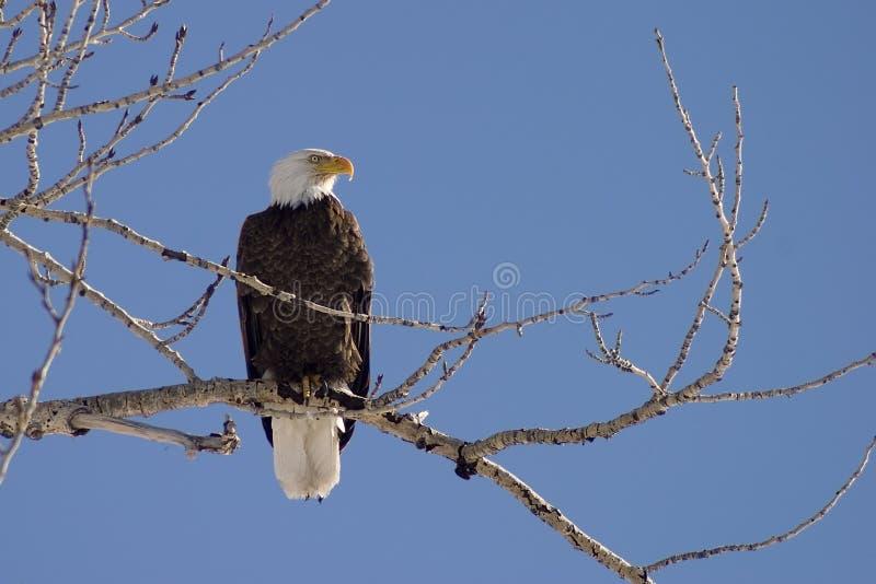 профиль облыселого орла стоковые фото