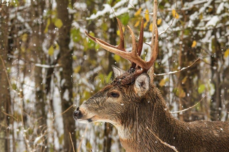 Профиль стороны самца оленя оленей Whitetail в лесе с падая снегом стоковое изображение