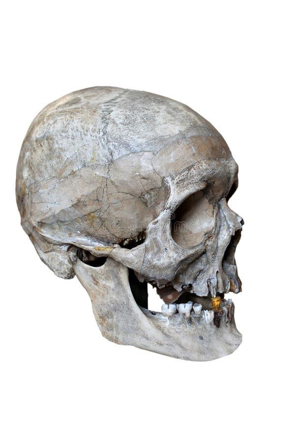 Профиль черепа стоковое фото rf