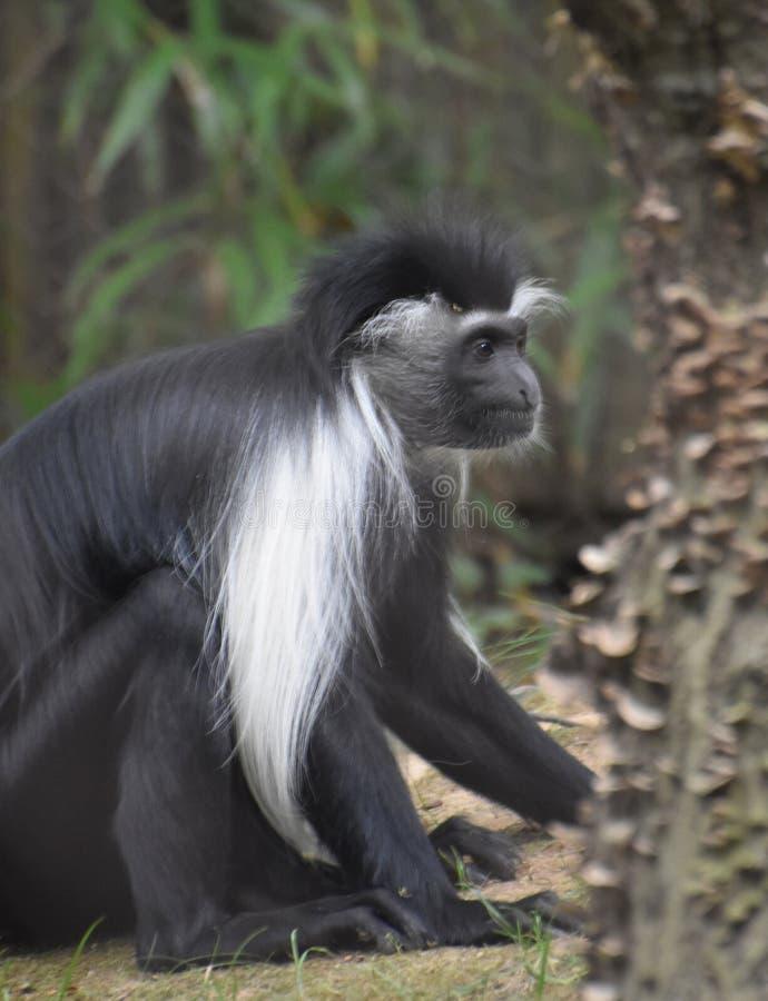 Профиль Mantled обезьяны Colobus сидя вниз стоковое изображение