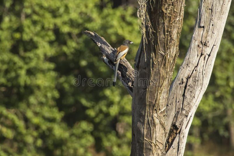 Профиль Rufous Treepie на мертвом дереве стоковая фотография rf