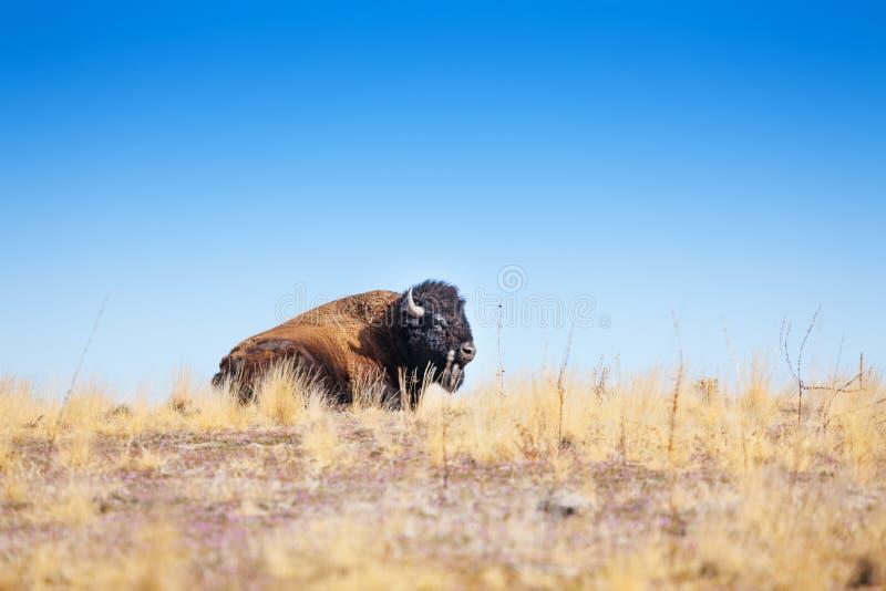 Профиль американского бизона кладя в прерию сухой травы стоковое фото