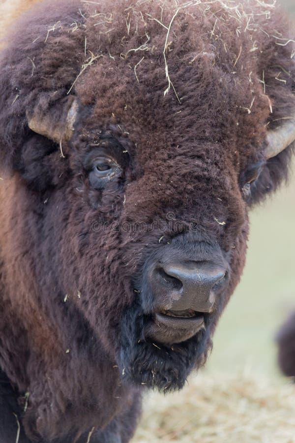 Профиль большого американского буйвола поля стоковая фотография