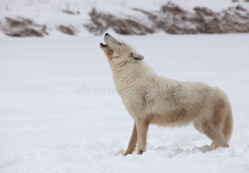 Ледовитый волк завывая стоковая фотография