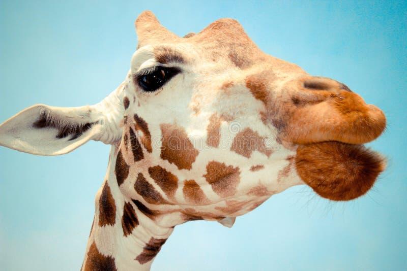 Профиль жирафа стоковая фотография rf