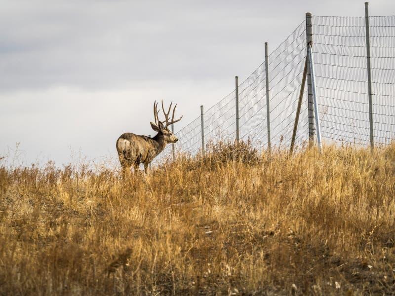 профиль осляка оленей самеца оленя стоковые фото