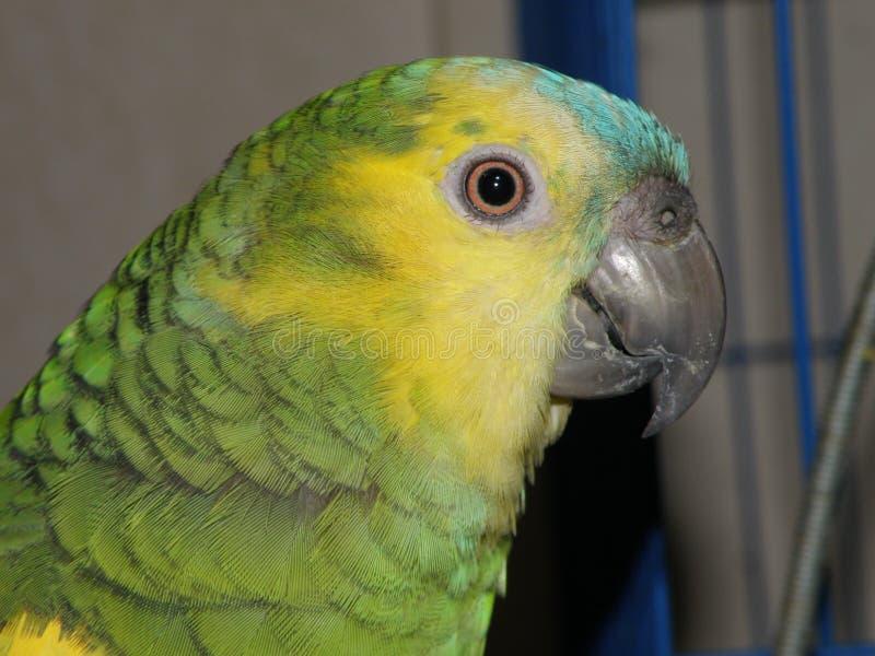 Профиль попугая стоковая фотография rf