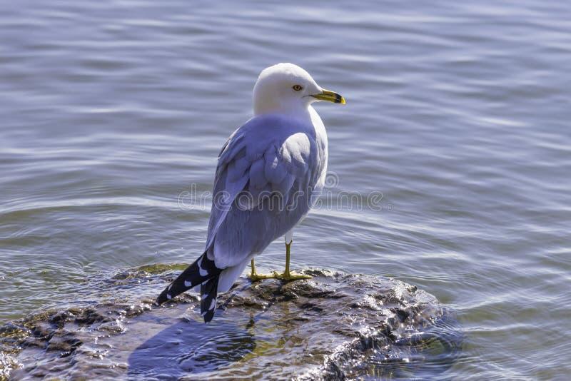 Профиль птицы чайки голубого и белого счета окружённой садился на насест на roc стоковое фото