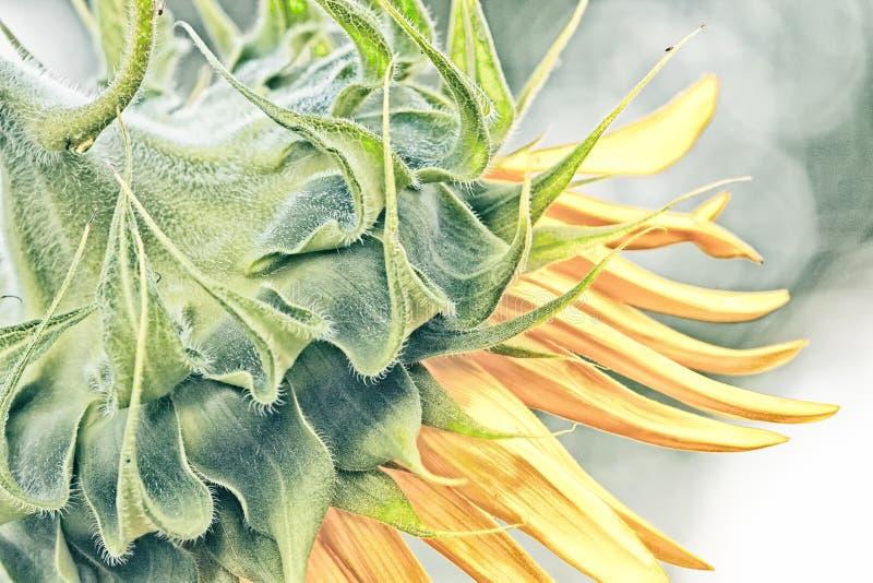Профиль солнцецвета стоковое изображение rf