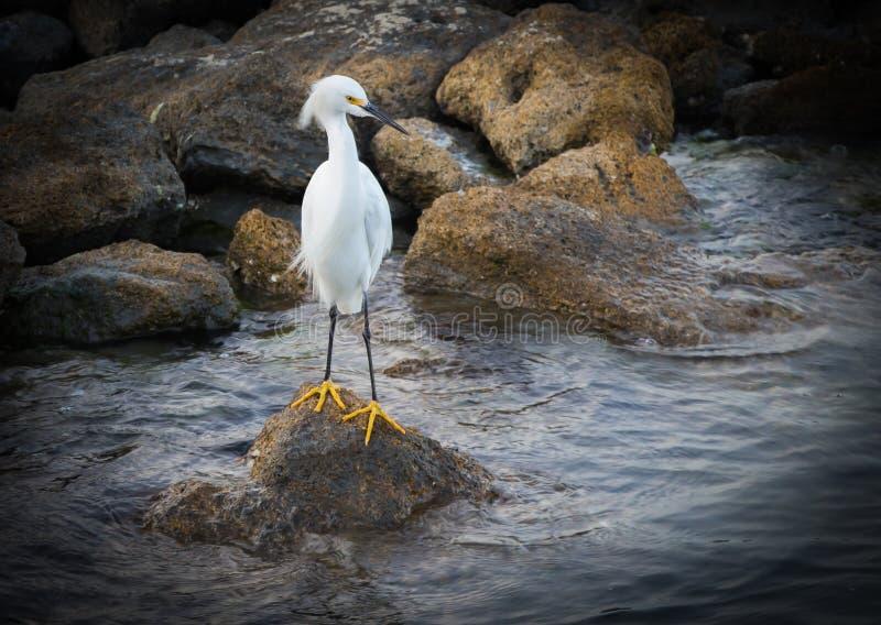 Профиль Egret Snowy стоковое фото