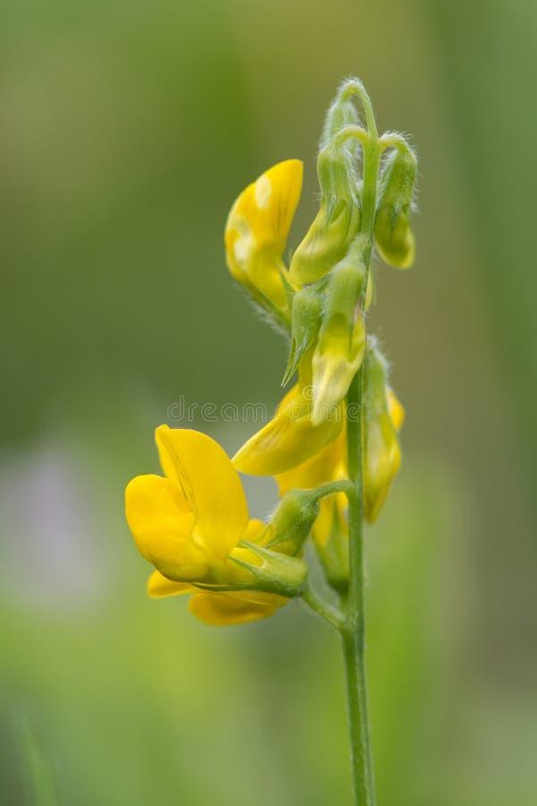 Профиль raceme pratensis Lathyrus vetchling луга стоковое фото rf