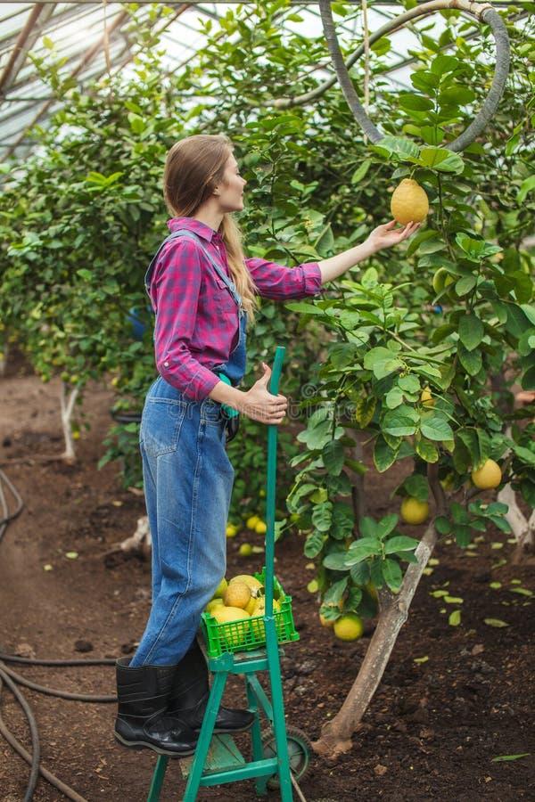 Процесс комплектации лимонов в gargen стоковые изображения