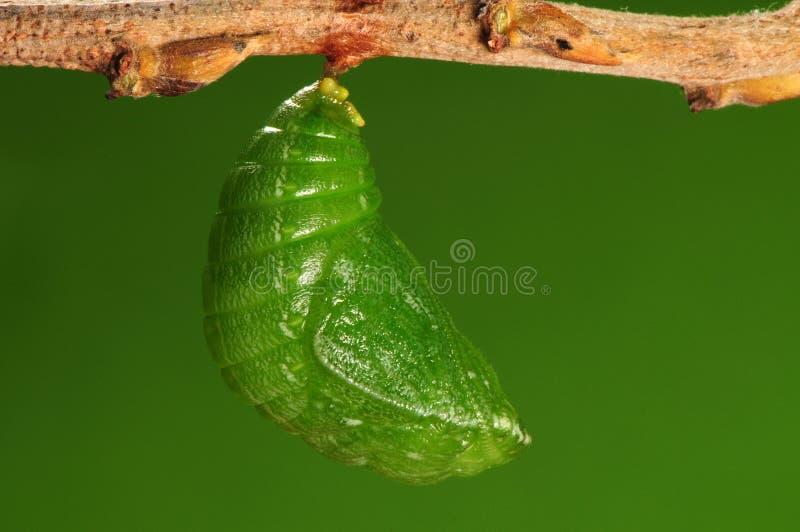 Процесс 7/8) бабочек pupation ( стоковое изображение rf