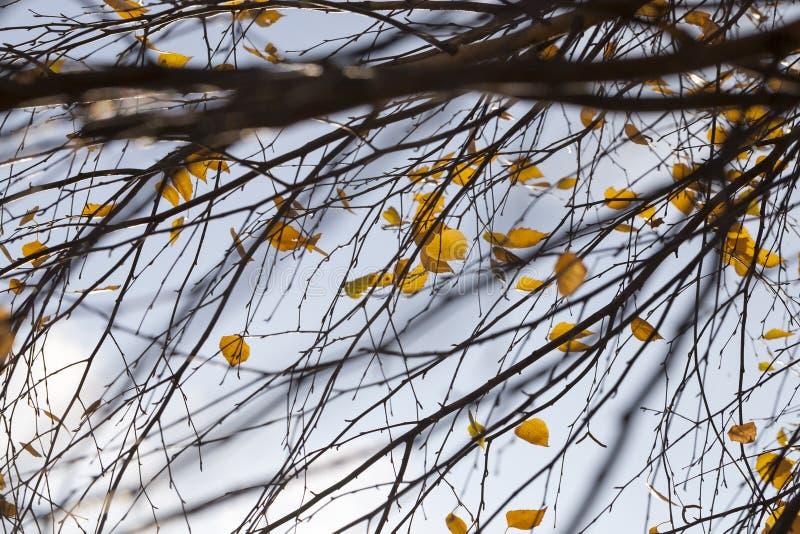 прошлой осенью листья березы стоковые фотографии rf