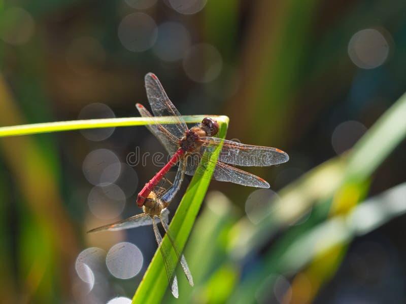 Прошлым летом пары dragonfly дней стоковое изображение