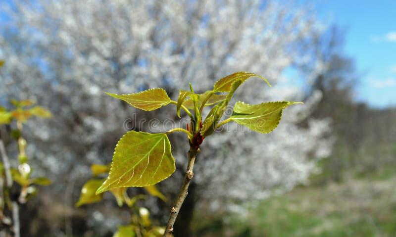 Пролом бутона весны кустарников и деревьев стоковые изображения