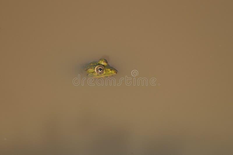 пруд индейца лягушки стоковое изображение rf