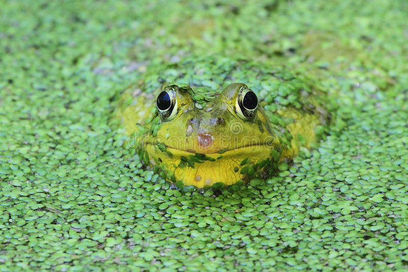 пруд лягушки зеленый стоковое фото rf