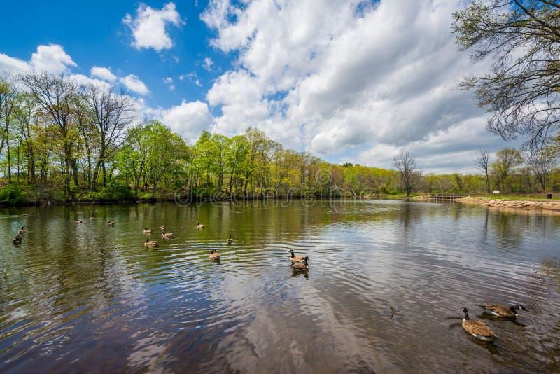 Пруд утки на парке Edgewood в New Haven, Коннектикуте стоковые фото