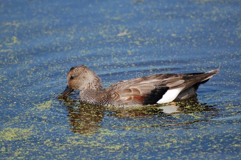 пруд gadwall duckweed утки стоковые фотографии rf