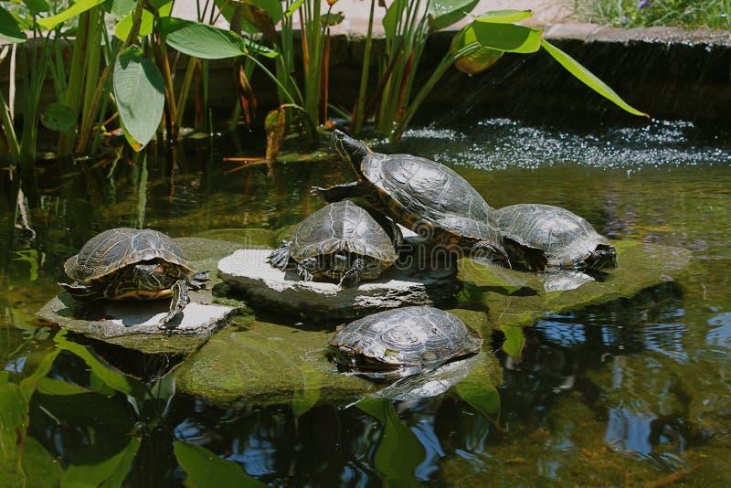 Пруд черепахи стоковые изображения rf
