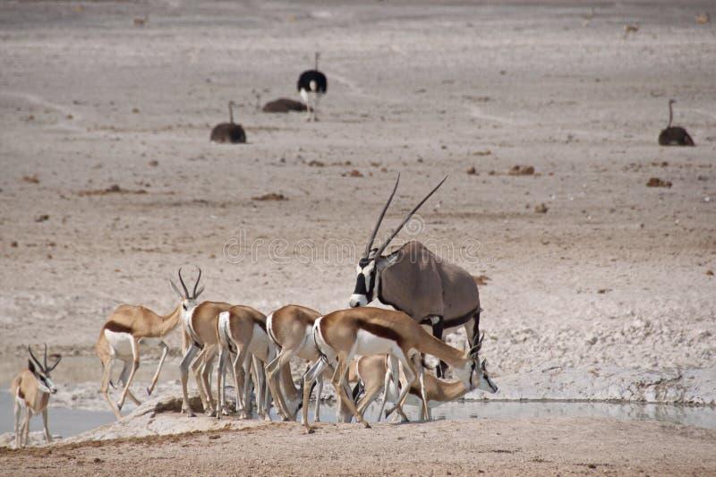 Прыгуны, сернобыки, и страусы на waterhole стоковая фотография