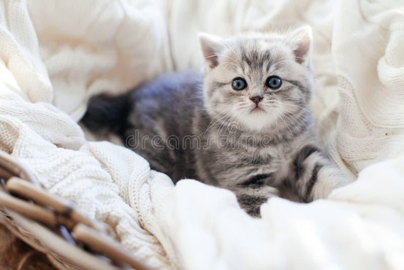 прямая котов шотландская стоковые фото
