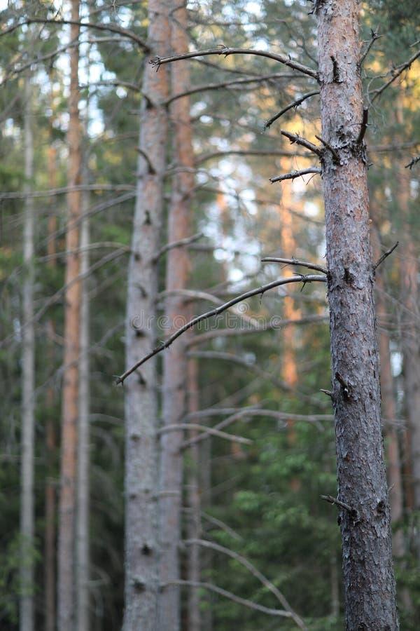 Прямой хобот хвойного дерева стоковое изображение rf