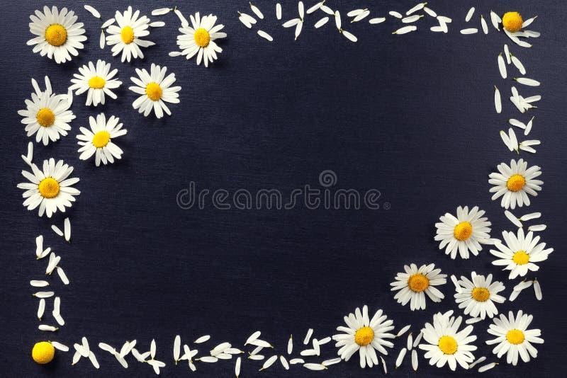 Прямоугольная рамка белых маргариток на черной предпосылке Цветочный узор при космос экземпляра положенный плоско Цветет взгляд с стоковые фото