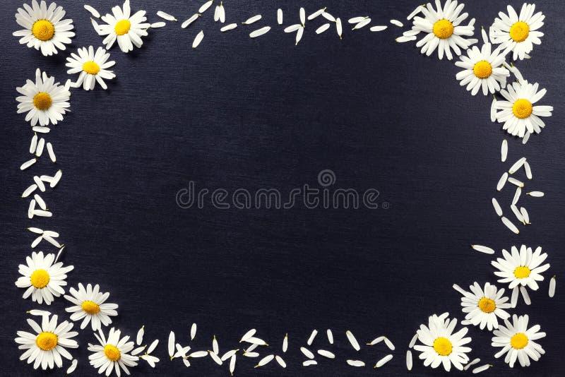Прямоугольная рамка белых маргариток на черной предпосылке Цветочный узор при космос экземпляра положенный плоско Цветет взгляд с стоковое фото