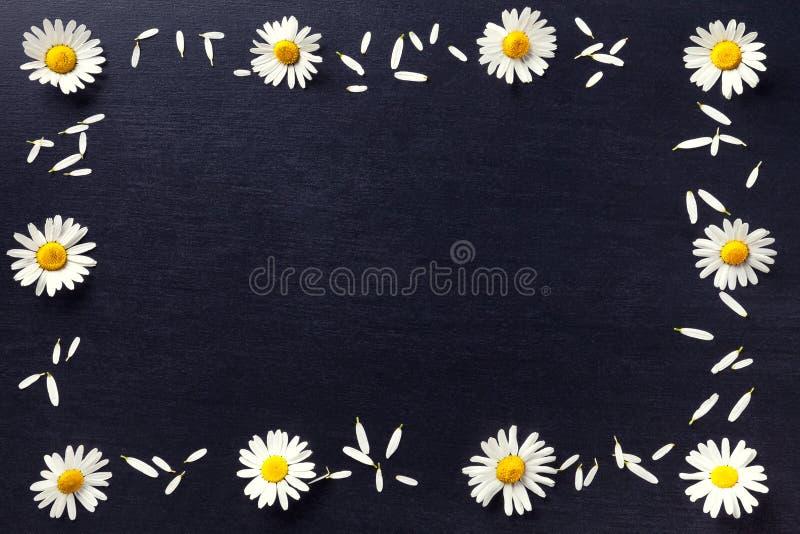 Прямоугольная рамка белых маргариток на черной предпосылке Цветочный узор при космос экземпляра положенный плоско Цветет взгляд с стоковое изображение rf
