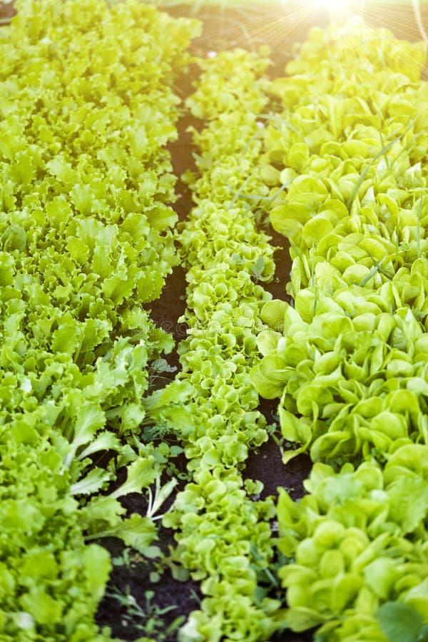 Прямые строки салата на саде кладут в постель на солнечном дне стоковая фотография