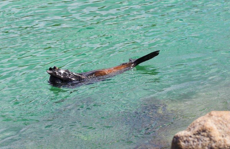 Прятк - австралийский морской котик (морсой лев) стоковые фото