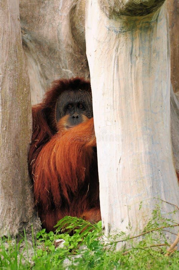 пряча orangutan стоковые изображения rf
