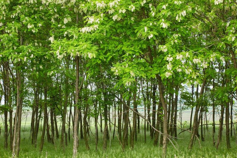 Псевдо деревья черной саранчи акации стоковая фотография rf