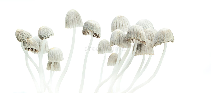 Психоделическое mexicana Psilocybe грибов стоковая фотография rf