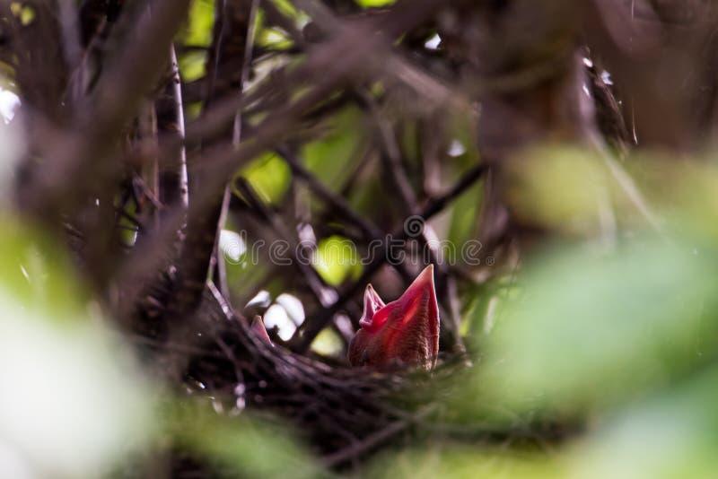 Птенецы сороки стоковые фотографии rf