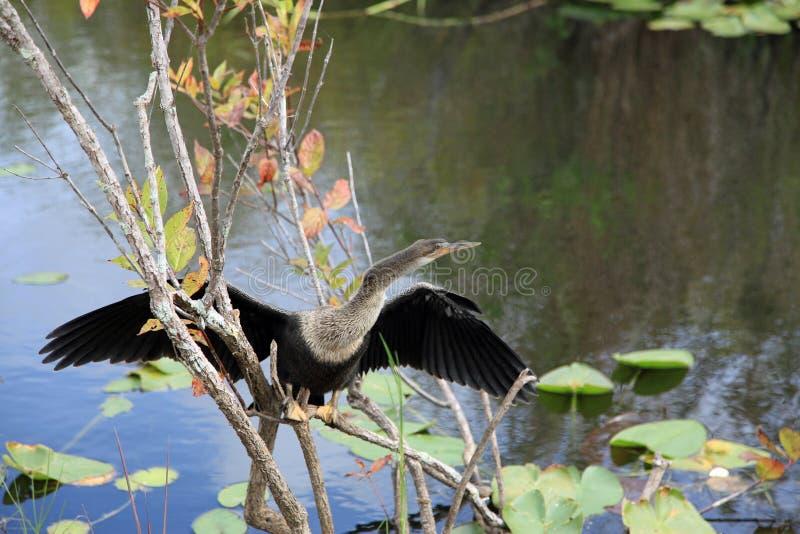 Птица американской змеешейки на национальном парке болотистых низменностей стоковая фотография