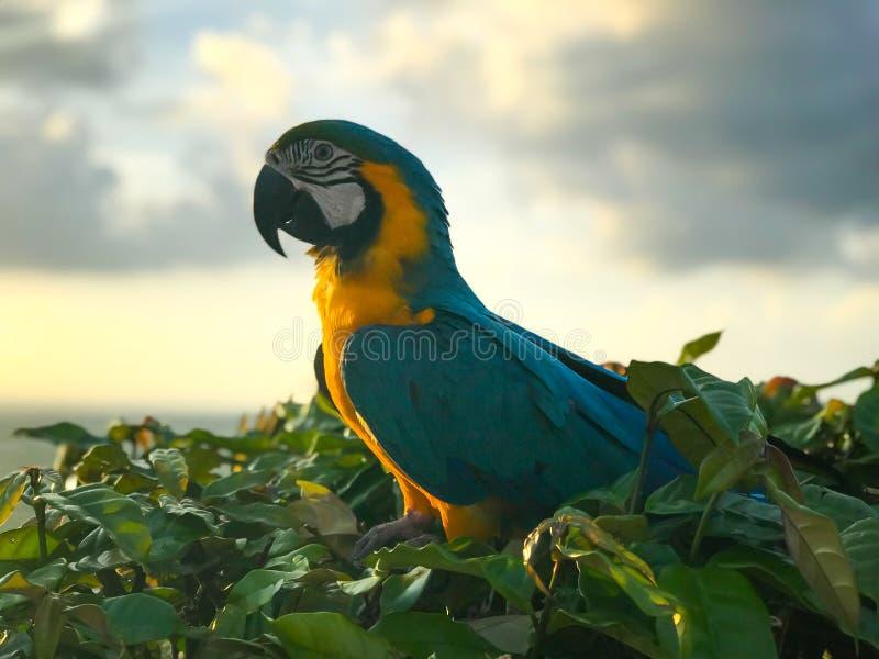 Птица ары сини и золота сидя на ветви дерева стоковые фотографии rf