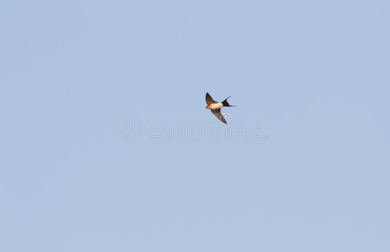 Птица ласточки против ясного голубого неба стоковое изображение rf