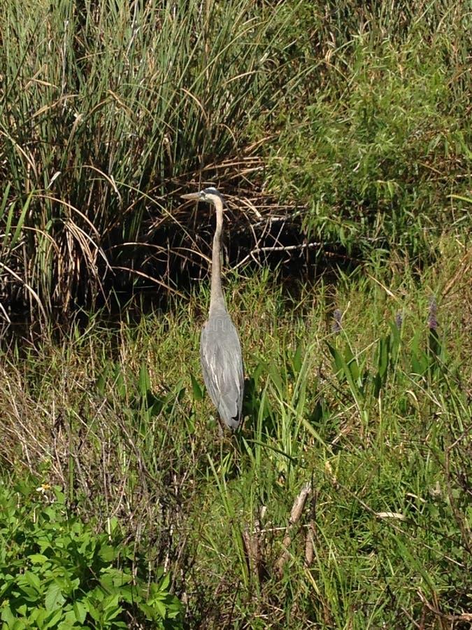 Птица болотистых низменностей стоковые изображения