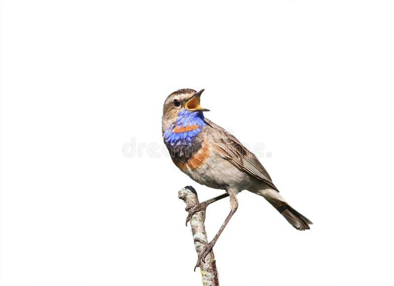 Птица варакушки поет сидеть на изолированной ветви на белизне стоковые фотографии rf