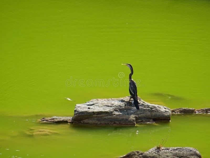 Птица водой, парк Yala стоковое изображение rf