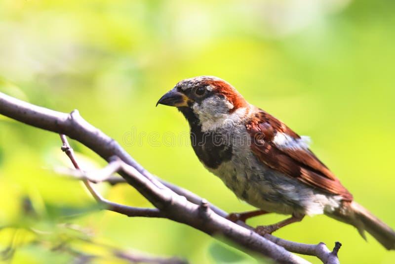 Птица воробья села на ветку дерева Мужской дом брови songbird Passer одомашненный сидящий и поющий на ветке дерева стоковые фотографии rf
