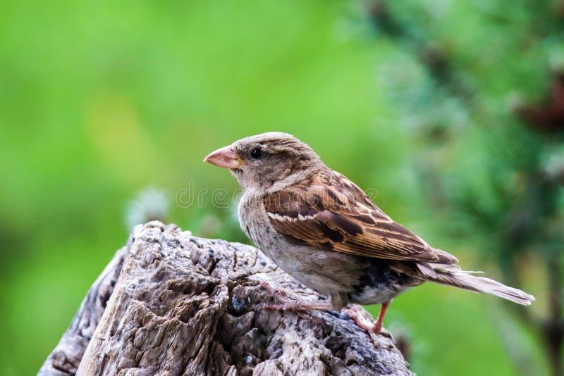 Птица воробья сидела на дереве Мужской дом блеск songbird Passer одомашненный, сидящий и поющий на стволе дерева стоковое изображение rf