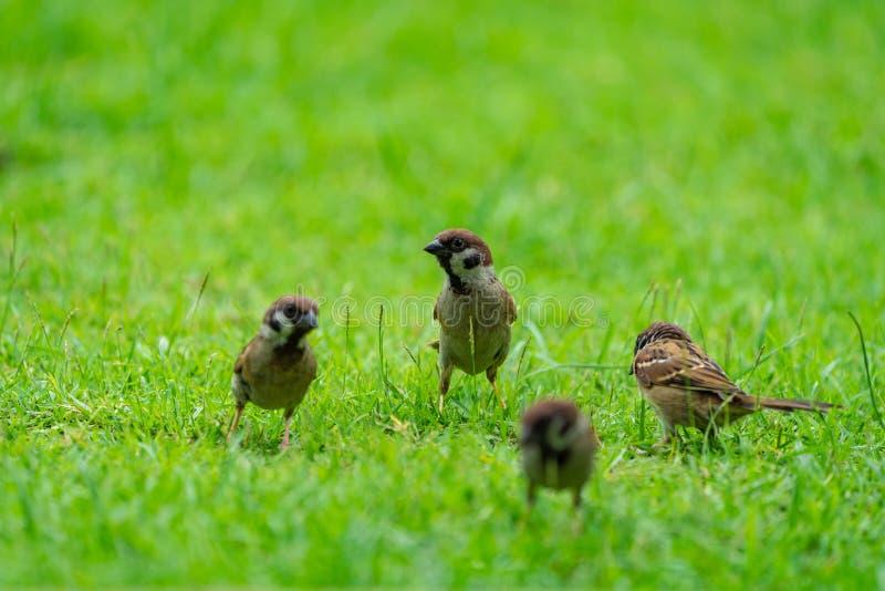 Птица воробья Таиланда маленькая коричневая в graden и парк стоковая фотография rf