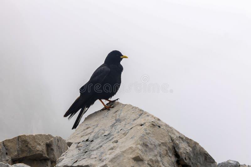 Птица вороны горы в баварских горных вершинах около живой природы Zugspitze высшей точки Германии черно-белой стоковое изображение rf